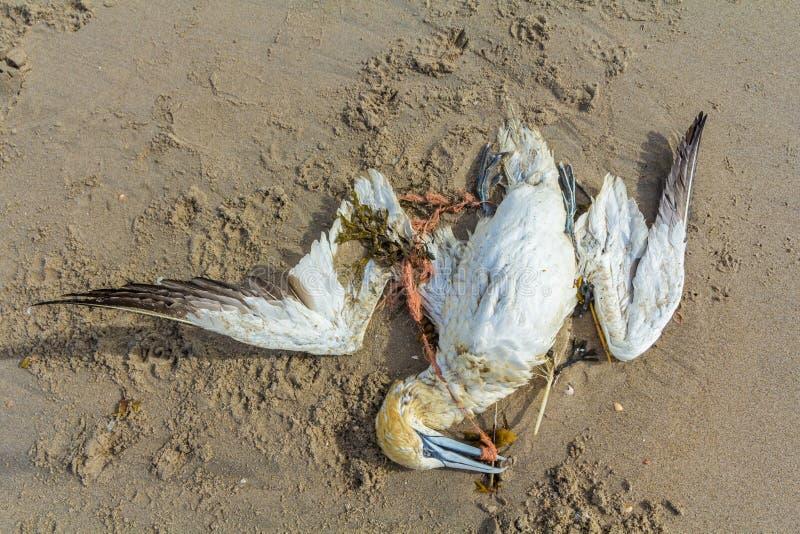 Sula nordica morta bloccata nella rete da pesca di plastica fotografie stock