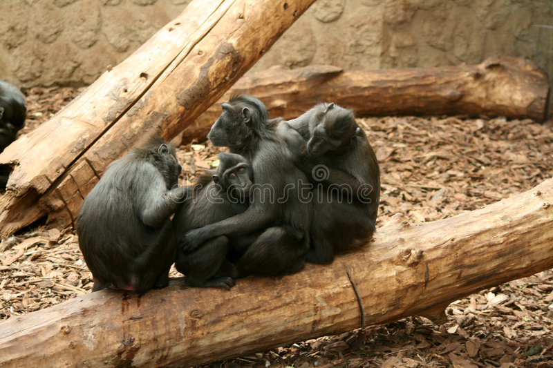 Sulawesi / Celebes Crested Black Macaque. The Celebes Crested Macaque (Macaca nigra), also known as the Crested Black Macaque, Sulawesi Crested Macaque, or the royalty free stock photography