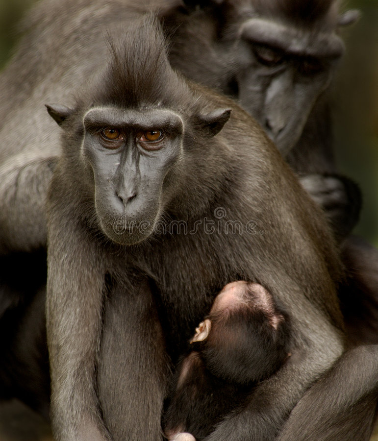 Download Sulawesi Crested Macaque Family Stock Image - Image: 4161337