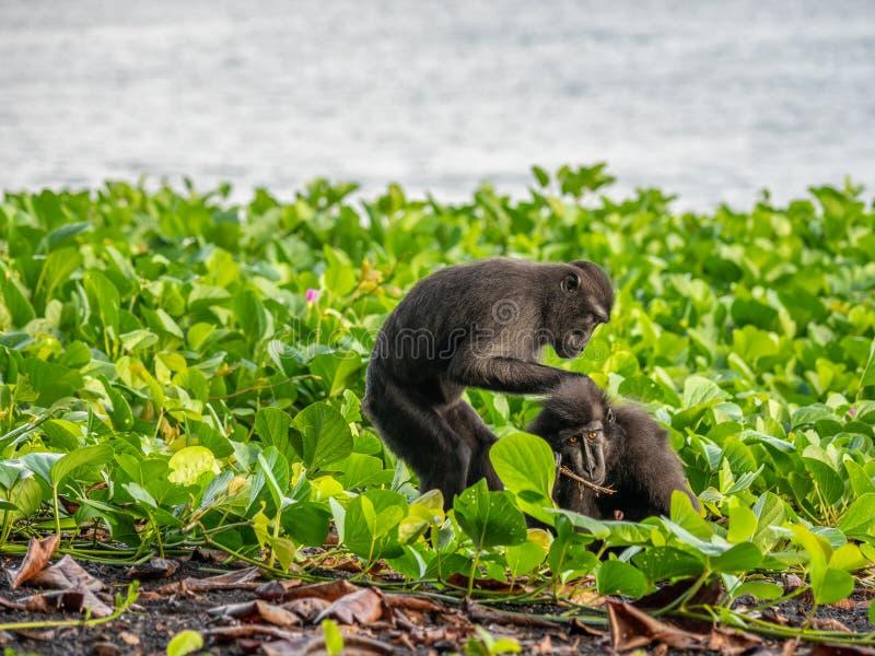 Sulawesi czubaty makak, Macaca nigra zdjęcie royalty free