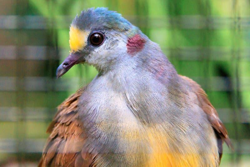 Sulawesi Ground-Dove royalty free stock images