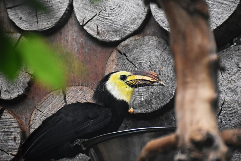 Close-up of a Sulawesi Hornbill bird. The Sulawesi hornbill Rhabdotorrhinus Exarhatus, also known as the Sulawesi tarictic hornbill, Temminck`s hornbill or royalty free stock photo