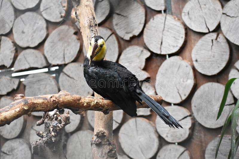 Sulawesi Hornbill on a tree branch. The Sulawesi hornbill Rhabdotorrhinus Exarhatus, also known as the Sulawesi tarictic hornbill, Temminck`s hornbill or royalty free stock photography