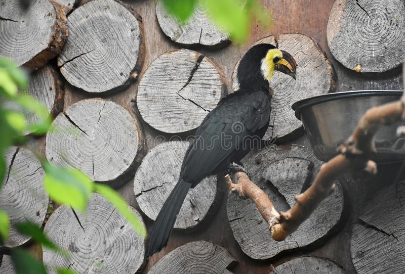 Sulawesi Hornbill on a tree branch. The Sulawesi hornbill Rhabdotorrhinus Exarhatus, also known as the Sulawesi tarictic hornbill, Temminck`s hornbill or royalty free stock photo