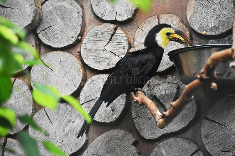 Sulawesi Hornbill on a tree branch. The Sulawesi hornbill Rhabdotorrhinus Exarhatus, also known as the Sulawesi tarictic hornbill, Temminck`s hornbill or royalty free stock photos