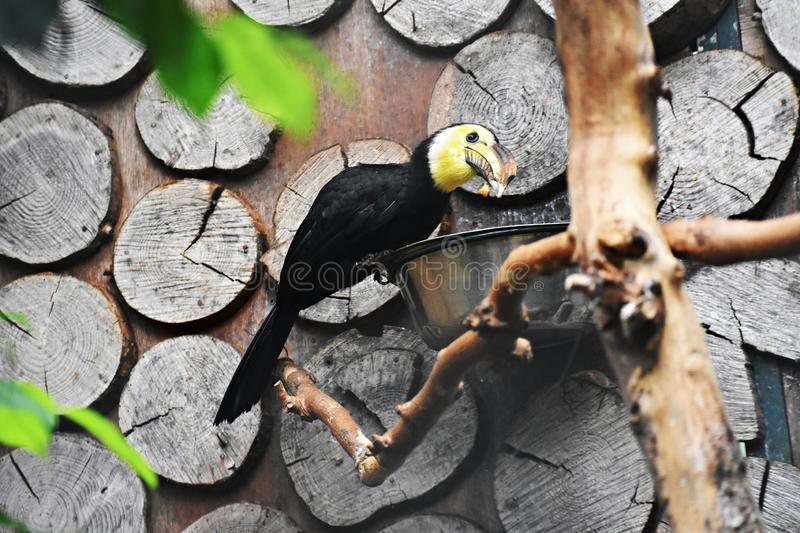 Sulawesi Hornbill on a tree branch. The Sulawesi hornbill Rhabdotorrhinus Exarhatus, also known as the Sulawesi tarictic hornbill, Temminck`s hornbill or royalty free stock images