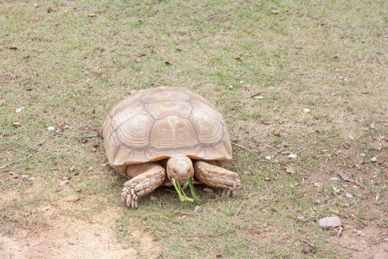 Sulcata草龟吃着牵牛花 免版税库存照片