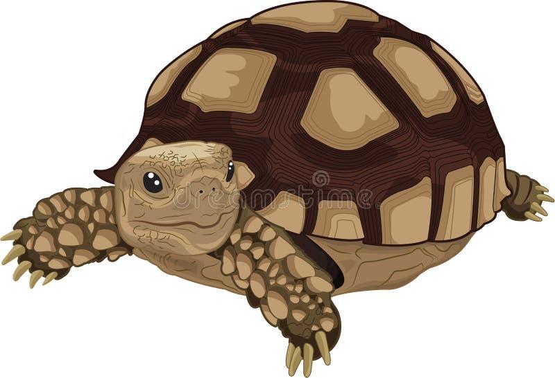 Sulcata sköldpadda royaltyfri illustrationer