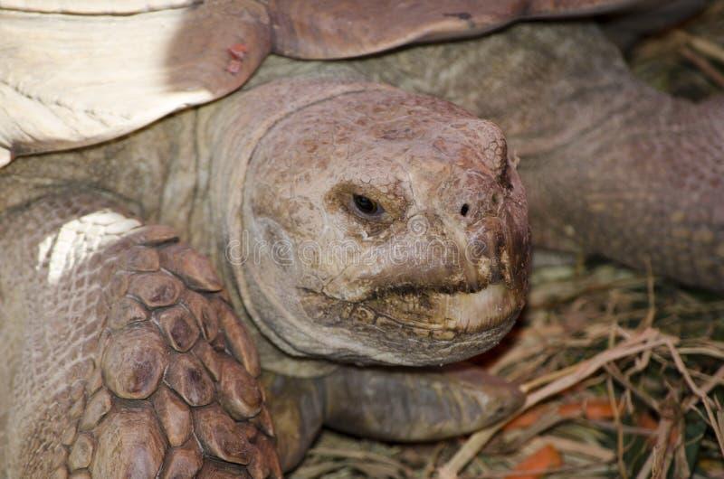 Sulcata sköldpadda i slut upp arkivfoton
