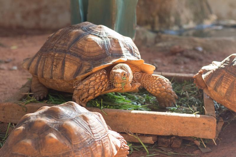 Sulcata tortoise, African spurred tortoise. Geochelone sulcata is one of the largest species of tortoise in the world royalty free stock photo