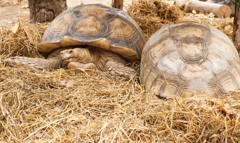 Sulcata tortoise, African spurred tortoise. The African spurred tortoise, also called the sulcata tortoise, is a species of tortoise, which inhabits the royalty free stock image