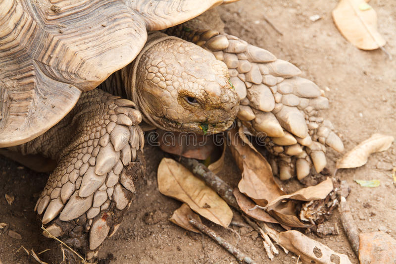 Sulcata tortoise, African spurred tortoise. The African spurred tortoise, also called the sulcata tortoise, is a species of tortoise, which inhabits the royalty free stock photography