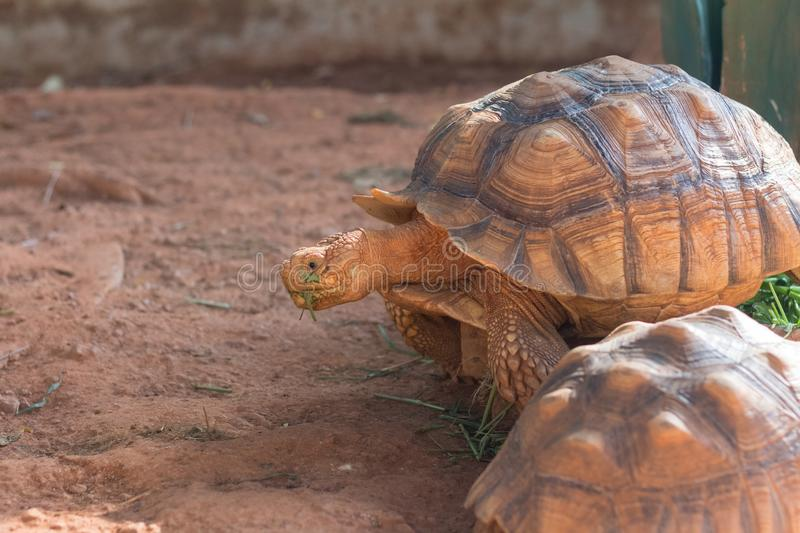 Sulcata tortoise, African spurred tortoise Geochelone sulcata. Is one of the largest species of tortoise in the world stock photo