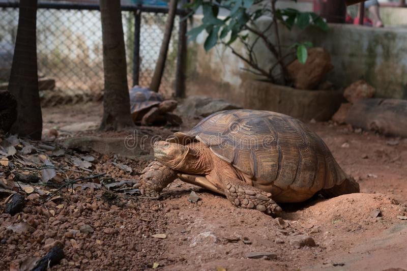 Sulcata tortoise, African spurred tortoise Geochelone sulcata. Is one of the largest species of tortoise in the world royalty free stock image