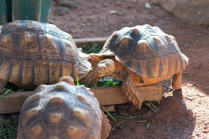 Sulcata tortoise, African spurred tortoise. Geochelone sulcata is one of the largest species of tortoise in the world stock photography