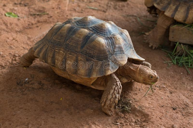 Sulcata tortoise, African spurred tortoise. Geochelone sulcata is one of the largest species of tortoise in the world stock image