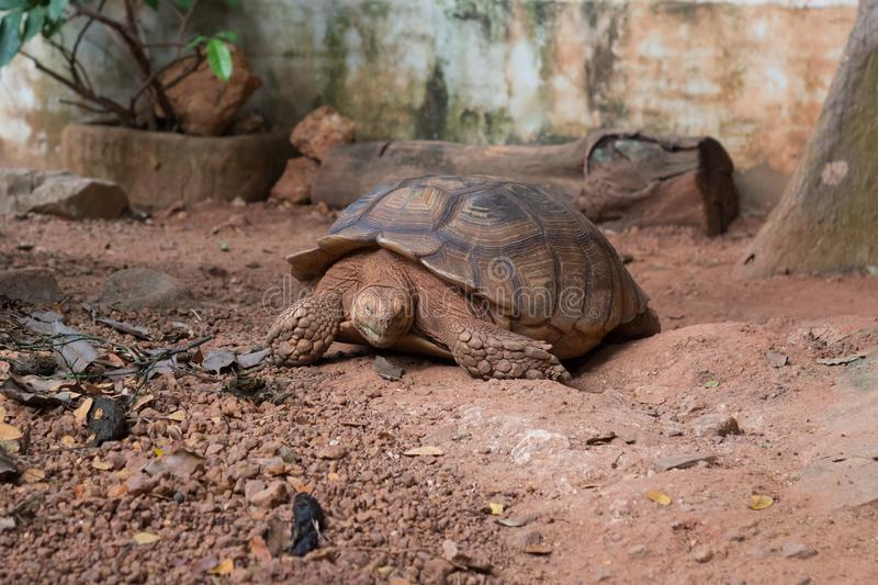 Sulcata tortoise, African spurred tortoise. Geochelone sulcata is one of the largest species of tortoise in the world royalty free stock photography