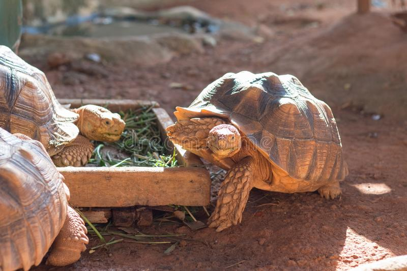 Sulcata tortoise, African spurred tortoise. Geochelone sulcata is one of the largest species of tortoise in the world royalty free stock photos