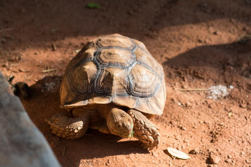 Sulcata tortoise, African spurred tortoise. Geochelone sulcata is one of the largest species of tortoise in the world stock images