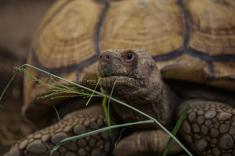 Sulcata tortoise. African spurred tortoise in zoo royalty free stock photos