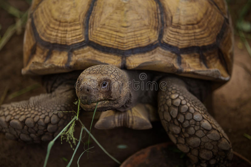 Sulcata tortoise. African spurred tortoise in zoo stock images