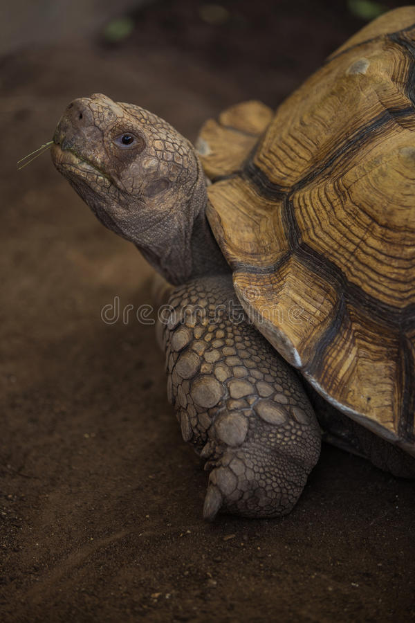 Sulcata tortoise. African spurred tortoise in zoo royalty free stock images