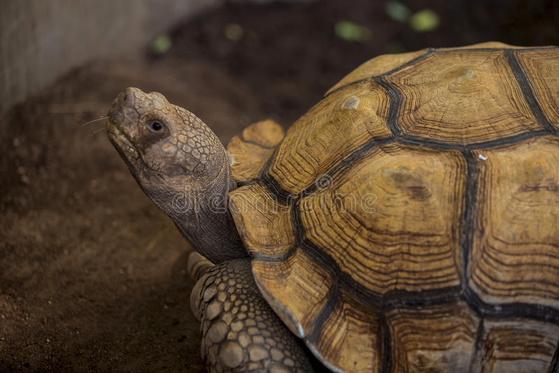 Sulcata tortoise. African spurred tortoise in zoo stock photography