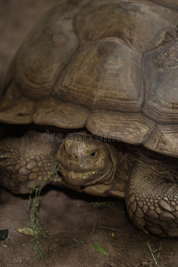 Sulcata tortoise. African spurred tortoise in zoo stock image