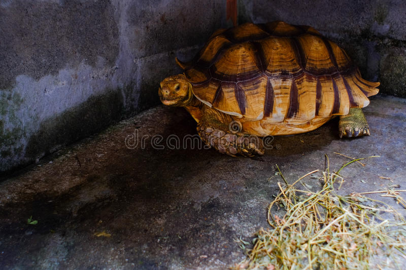 Sulcata tortoise. Astrochelys sulcata - feeding. Animal portrait royalty free stock image