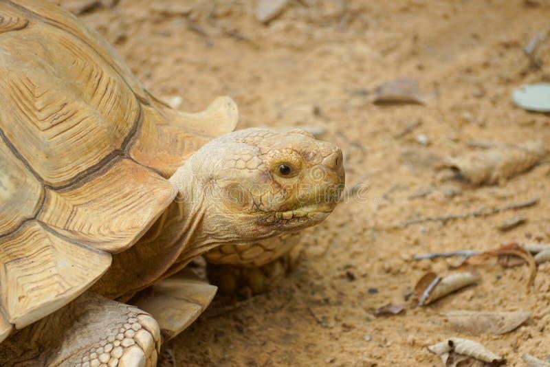Sulcata Tortoise głowa obrazy royalty free