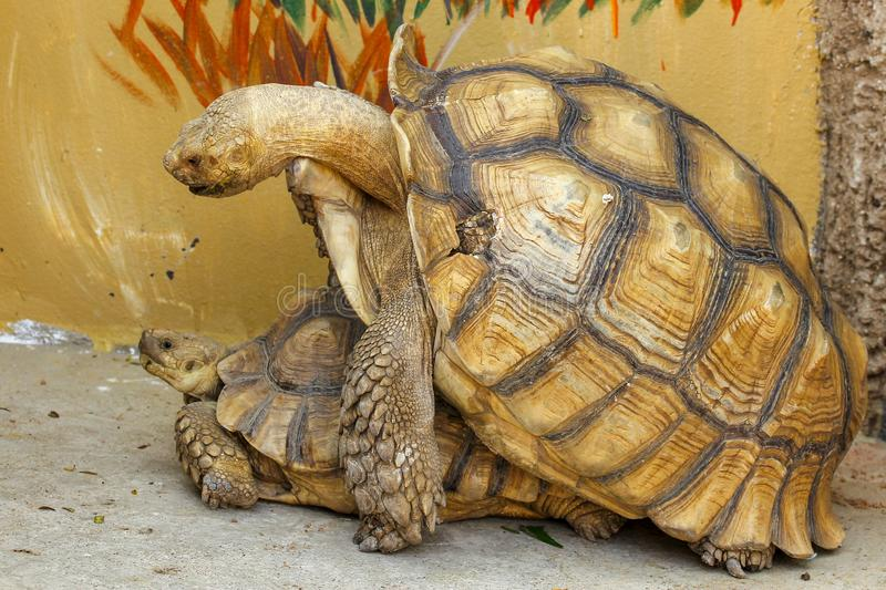 Sulcata tortoise have sex. Sulcata tortoise have sex stock image