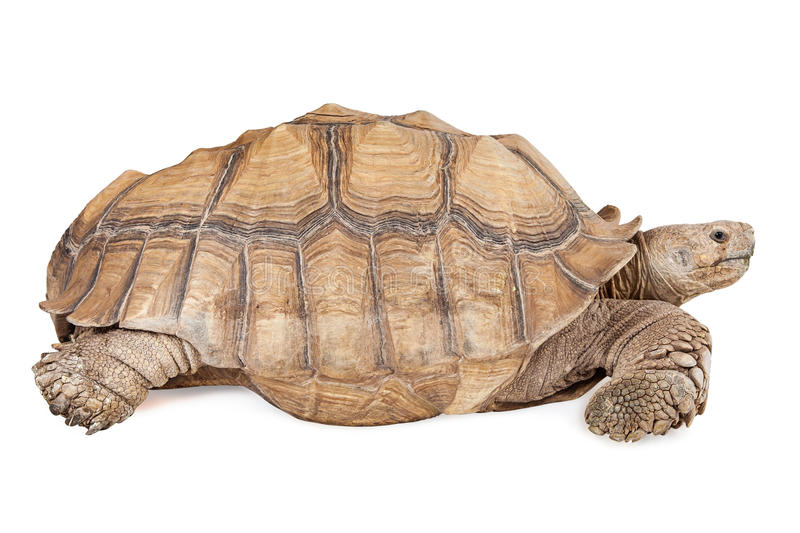 Sulcata Tortoise Isolated on White. Side view of a large tortoise on a white background royalty free stock photos