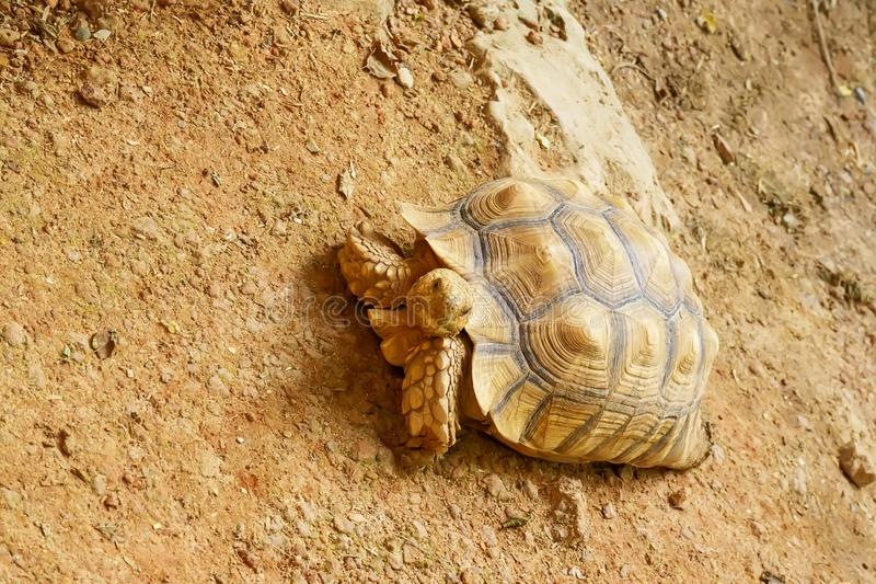 Sulcata tortoise on the sand. On a nature background stock image