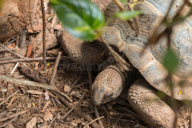 Sulcata Tortoise. Top view of Sulcata Tortoise royalty free stock images