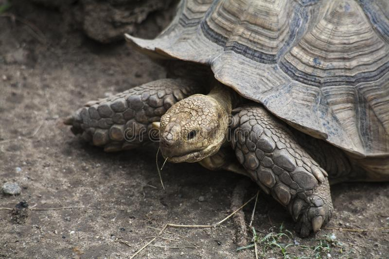Sulcata Tortoise / Tortoises as large as No. 3 in the world. Sulcata Tortoise , Tortoises as large as No. 3 in the world stock photos