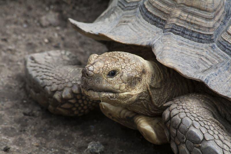 Sulcata Tortoise, Tortoises równie wielcy jak Żadny/ 3 w świacie zdjęcie royalty free