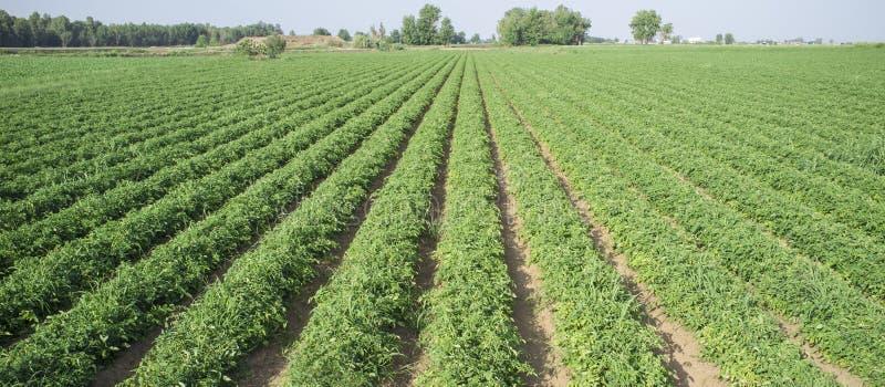 Sulco novos da plantação dos tomates imagem de stock