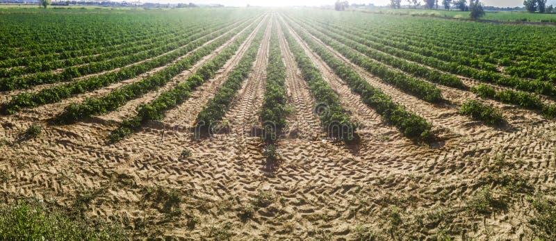 Sulco novos da plantação dos tomates Tiro panorâmico imagens de stock