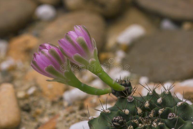 Sulcorebutia Gerosenilis na natureza bonita imagem de stock