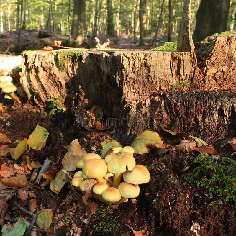 Sulfur tuft. In forest, or clustered woodlover, Hypholoma fasciculare stock photography