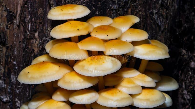 Sulfure el penacho, fasciculare de Hypholoma, racimo que crece en la vieja macro de madera, foco selectivo, DOF bajo fotos de archivo
