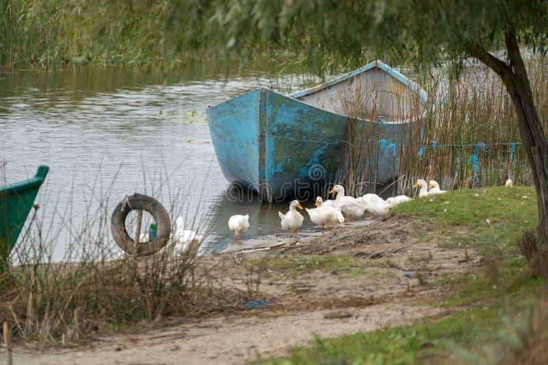 SULINA, DANUBE DELTA/ROMANIA - SEPTEMBER 23 : Domesticated ducks royalty free stock photos
