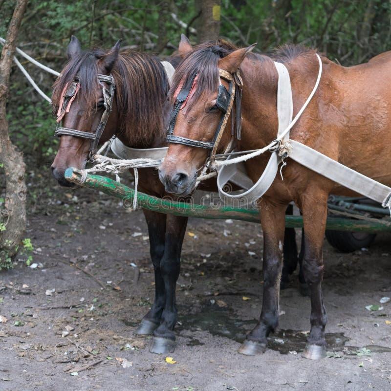 SULINA, DANUBE DELTA/ROMANIA - SEPTEMBER 23 : Working horses in stock image