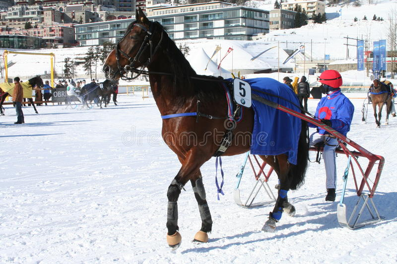 Sulky Trotter. Before a race. St Moritz, Switzerland: Horse Races take place every February on the frozen lake royalty free stock images