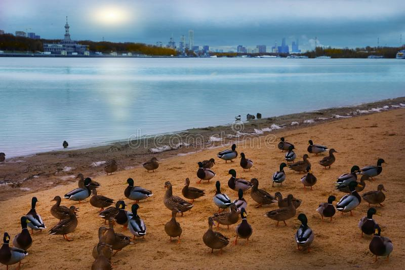 Sullen gloomy river landscape with ducks city. And cloudy sky royalty free stock image