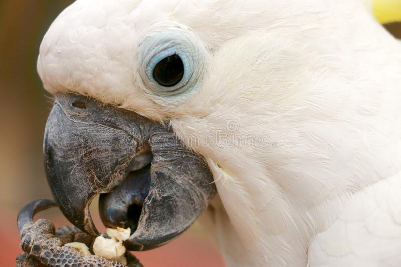 Sulpher crested a cacatua foto de stock royalty free