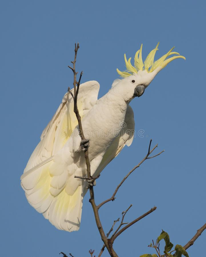 Sulpher crested cockatoo royalty free stock images