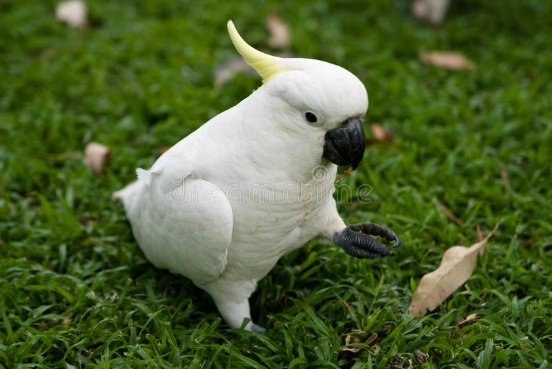 A sulphur-crested cockatoo royalty free stock photo