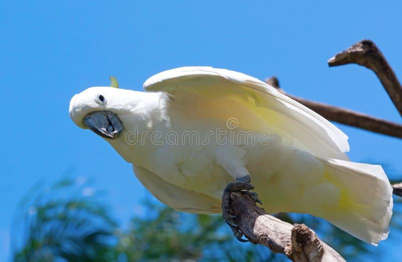 Download Sulphur-crested cockatoo stock image. Image of cockatoo - 18411909