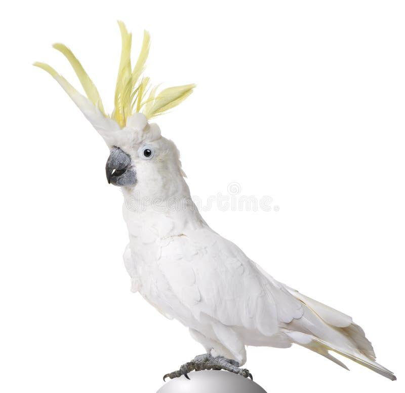 Sulphur-crested Cockatoo - Cacatua galerita stock image